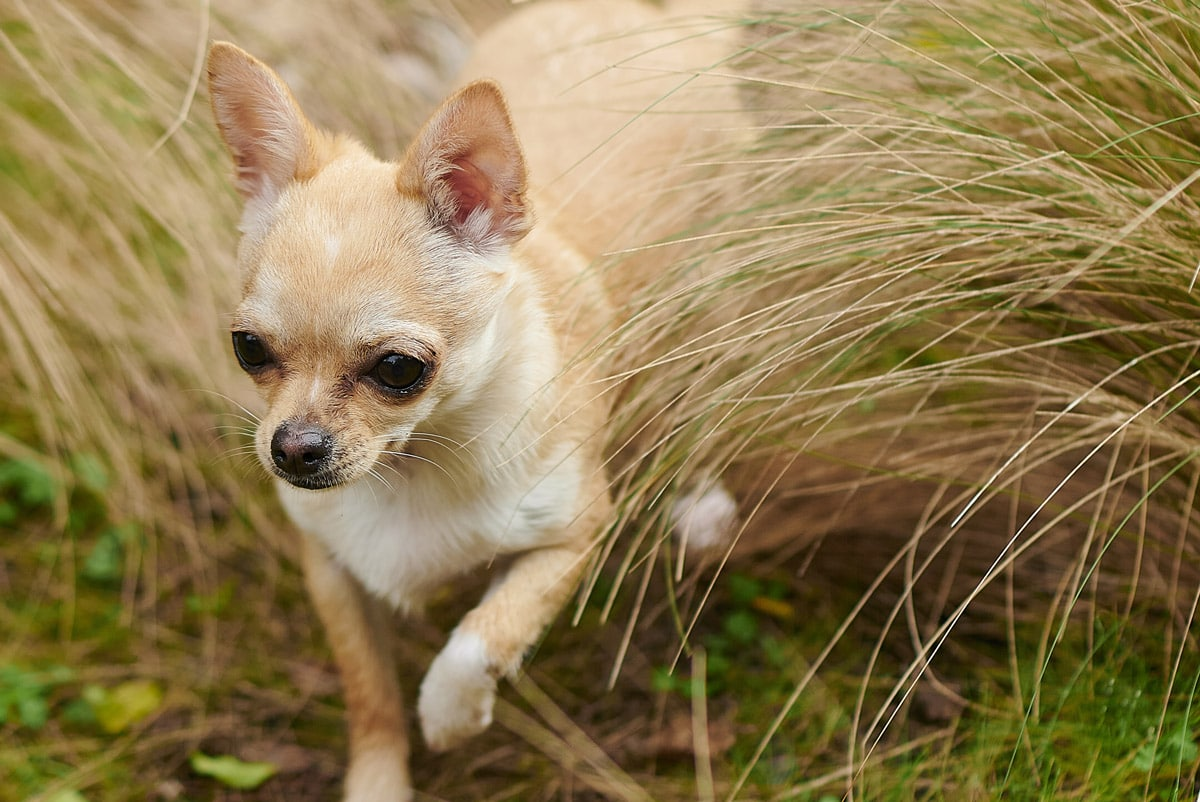 chihuahua playing in the field