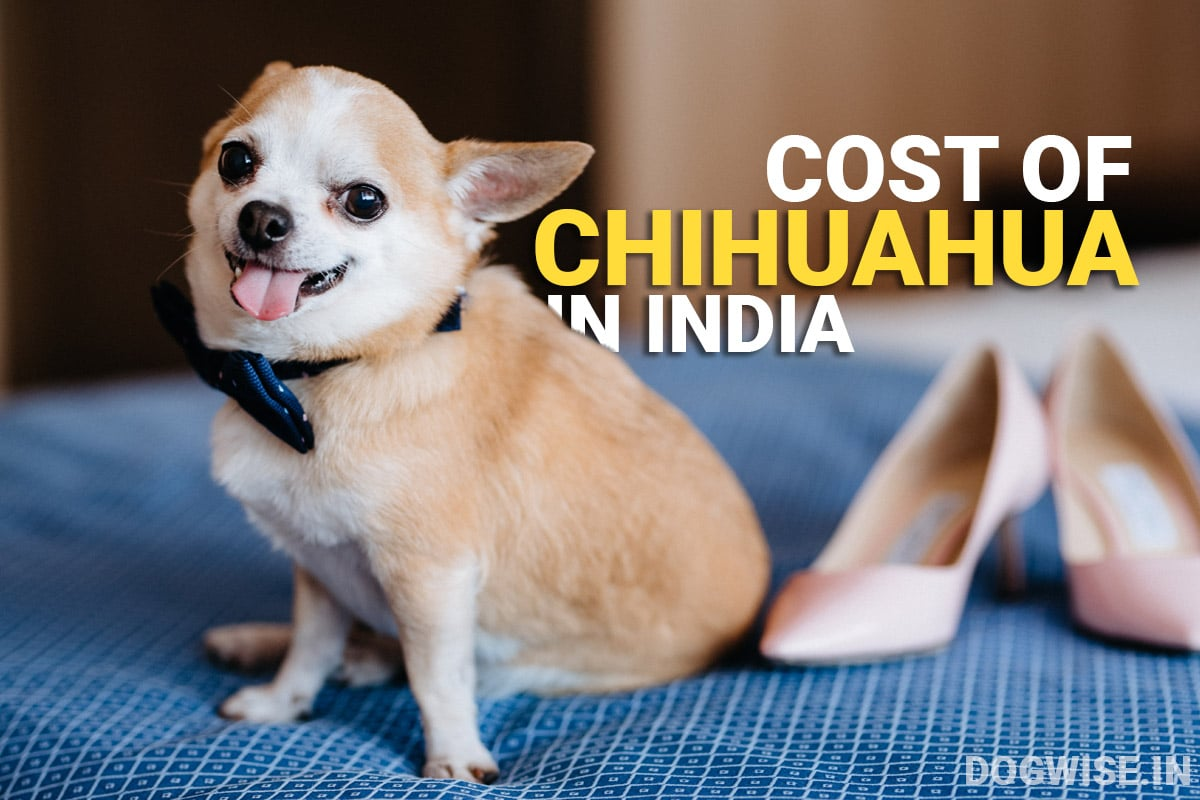 price of chihuahua in india