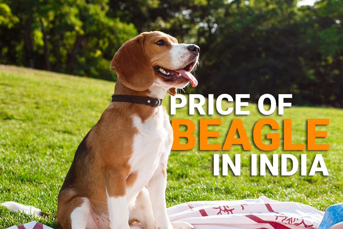 price of beagle in India