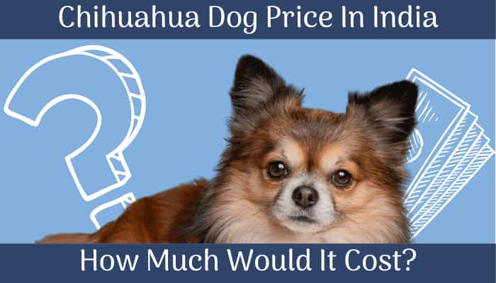 Chihuahua-dog-price-in-India