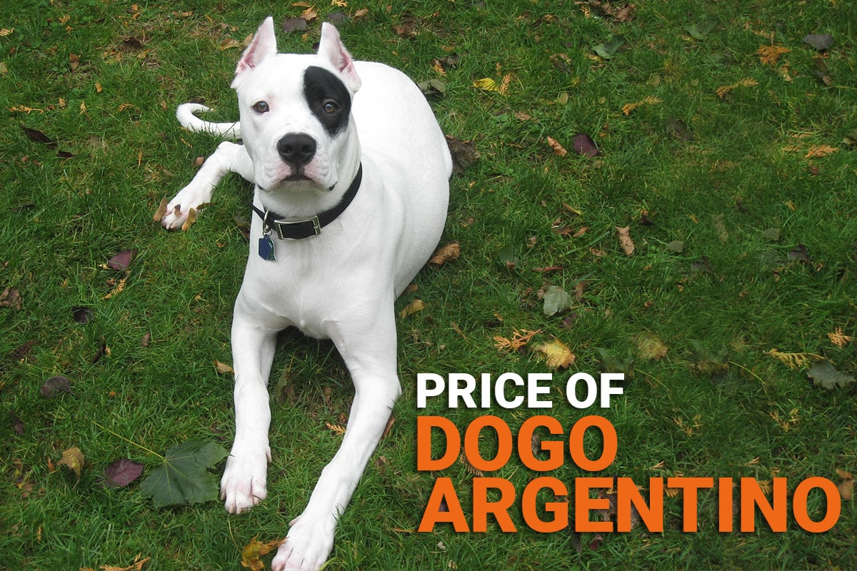 Dogo Argentino Price In India Know Price In Your City