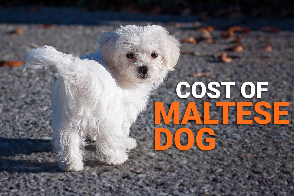Maltese Dog Price In India [2021] How Much Would it Cost