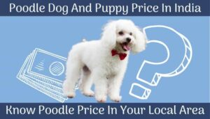 Poodle dog and puppy price in India