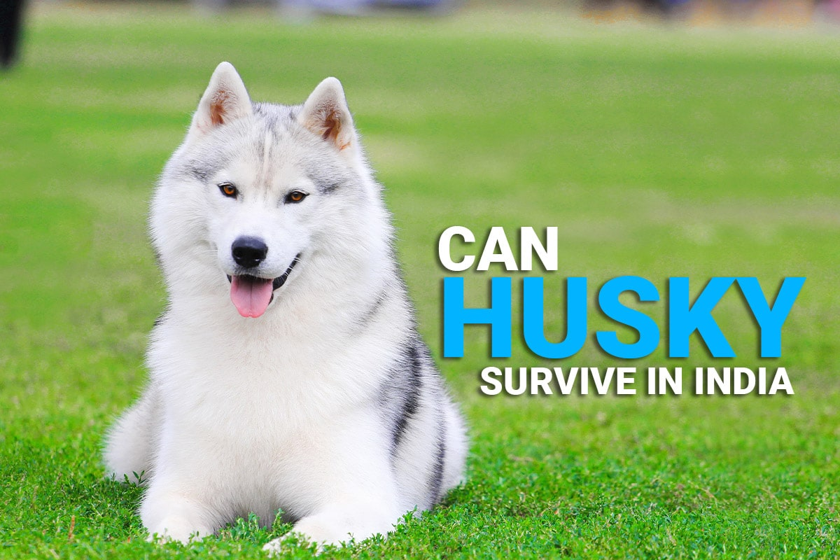 can husky survive in india