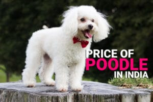 price of poodle in india