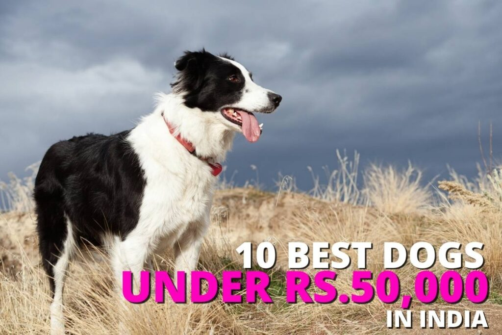 Top 10 best dog breeds in India under Rs.50,000