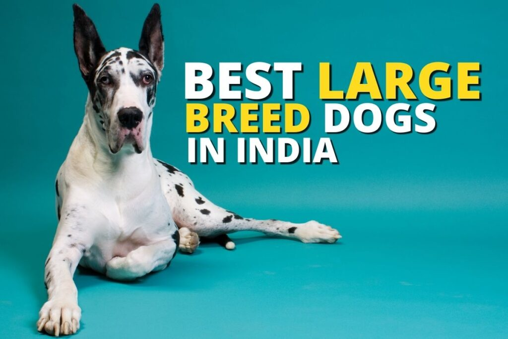 best large dog breeds in India